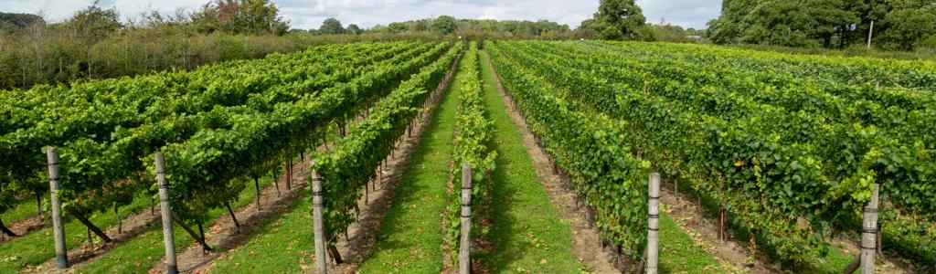 Downsview Vineyard