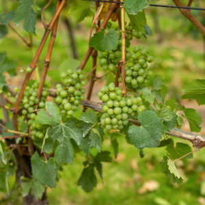 Downsview Vineyard Grapes