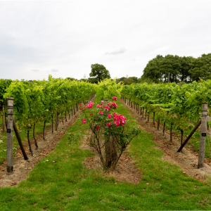 Local Sussex Vineyard
