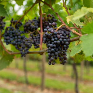 Downsview Wine Grapes